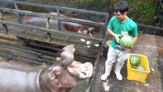 Download Hippo Family Eating Watermelons&Baby hippo @Nagasaki Japan Video