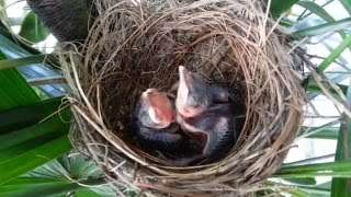 Download Baby birds (Yellow-vented Bulbul) pushing each other in the nest Video