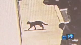 Download Rabid cat aggressively chases, bites person in Chesapeake Video