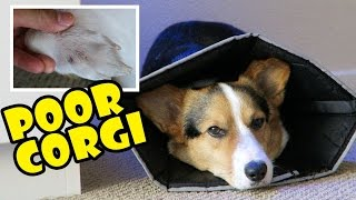 Download POOR CORGI LICKING OFF HIS FUR - Life After College: Ep. 502 Video