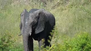 Download Djuma: Lone Elephant bull enjoys a good mud shower - 15:38 - 03/23/19 Video