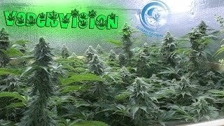 Download Sexing the Cannabis Plants in the Flower Room! 🍁 Video