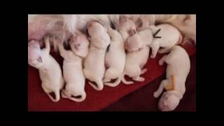 Download Cachorros Golden Retriever. Parto + Primeras horas de vida/ Puppies birth + First hours of life Video