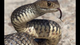 Download OLTAYA TAKILAN DEV YILAN VE TURNA AVI giant snake Video