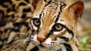 Download 10 Самых дорогих диких кошек Video