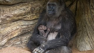 Download Mother Gorilla Introduces Baby to Troop Video