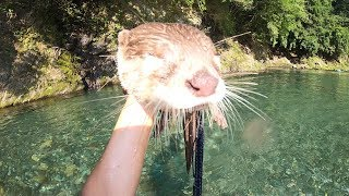 Download Date at the river [Otter life Day 84] カワウソと川デート Video