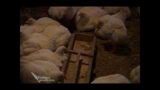Download Farma brojlera - U nasem ataru 314.wmv Video