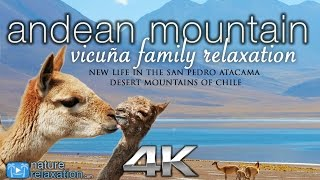 Download Andean Mountain Wildlife in 4K: Vicuña Baby | Nature Relaxation Instrumental Documentary Video
