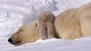 Download Polar Bear Cubs Take Their First Tentative Steps | Planet Earth | BBC Earth Video