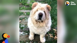 Download Dog Looks Exactly Like A Big Teddy Bear | The Dodo Video