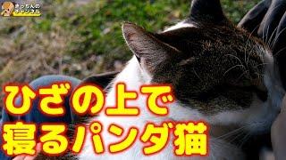 Download 【野良猫】ひざの上で寝るパンダ猫【地域猫】 Video