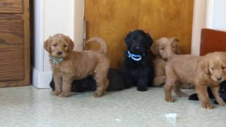 Download Labradoodle Puppies For Sale Video