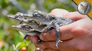 Download We Found Crocodile Hatchlings! Video