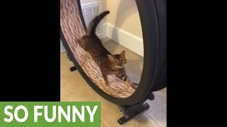 Download Cat channels inner hamster, exercises on wheel toy Video