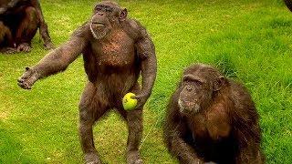 Download How to Speak Chimpanzee   Extraordinary Animals   BBC Earth Video
