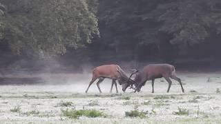 Download Vroege Vogels - Heftig gevecht tussen twee edelherten Video