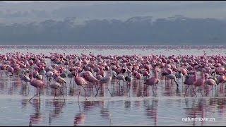 Download Flamingo, Lake Nakuru Video