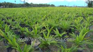 Download Palm Oil nursery in Arunachal - miracle crop threatens soil quality in India Video