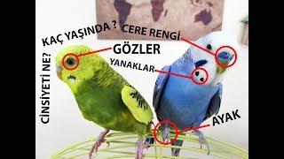 Download Muhabbet Kuşu Yaş ve Cinsiyet Tahmini Video