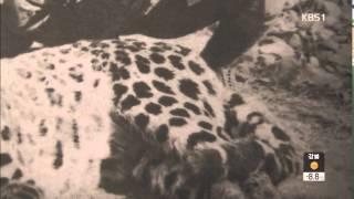 Download '야생 최상위 포식자' 한국 표범 살아 있나? Video