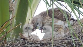 Download Ridgway Hawk Feeding Video