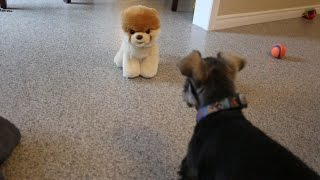Download Puppy Growling At Boo The World's Cutest Dog Video