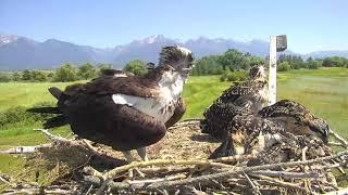 Download Osprey Nest - Charlo Montana Cam 07-20-2018 14:12:43 - 15:12:44 Video