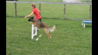 Download Beginner Dog Agility Training Video