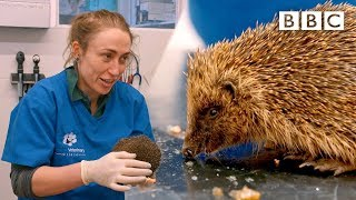 Download A very cute hedgehog's day at the vet 😍🦔   Mountain Vets - BBC Video