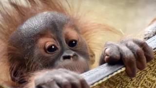 Download Animal Encounter: 9-Month-Old Sumatran Orangutan, Kera - February 2019 Video