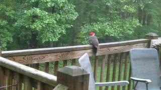 Download Pileated Woodpecker on deck - surprise ending!! Video