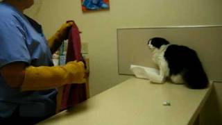 Download Psycho Cat Beats Up On Vet Video