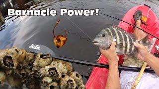 Download Using Barnacles as Bait: Sheepshead Fishing Video