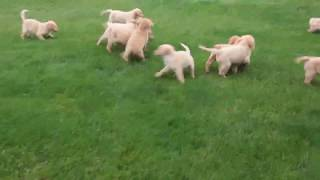 Download Golden Labrador Puppies For Sale Video