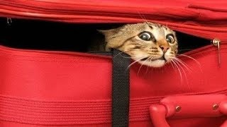 Download FUNNY CATS that will make your BELLY HURT FROM LAUGHING - Funny CAT compilation Video