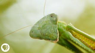 Download Praying Mantis Love is Waaay Weirder Than You Think   Deep Look Video