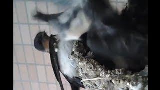 Download 【ツバメ】2017part20⋋( ◕ ∧ ◕ )⋌生後16日目・常に💩の危険あり(`・ω・´) Video