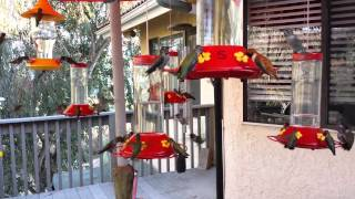 Download Hummingbird Frenzy Video