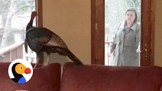 Download Wild Turkey Refuses to Leave Home, Poses for Police Photos | The Dodo Video