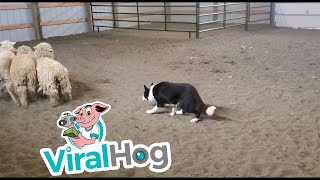 Download Impressive Display of Stock Dog Obedience || ViralHog Video