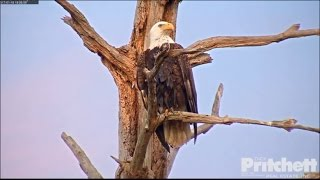 Download SWFL Eagles ~ M15 Dries Off on OCT; Harriet Feeds E9 Before Bed 1.18.17 Video