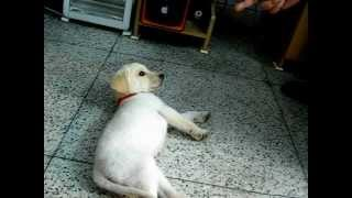 Download Labrador Puppy Training and Tricks Video