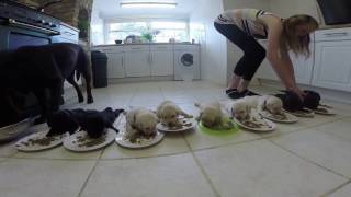 Download Labrador Puppies weaning for the first time Video