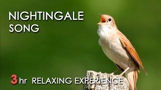 Download BEST NIGHTINGALE SONG - 3 Hours REALTIME Nightingale Singing, NO LOOP - Birdsong, Birds Chirping Video