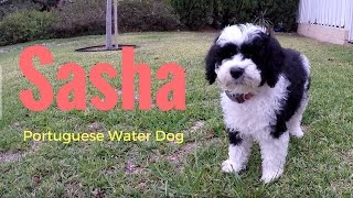 Download Our new PUPPY! Sasha PWD - Portuguese Water Dog Video
