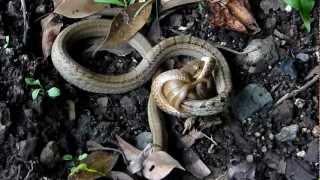 Download シマヘビ Elaphe quadrivirgata の共食い(Ⅰ) Video