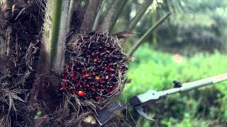 Download Palm Oil Palm Trees Smart Harvesting, Prunning Mechanized Chisel Video