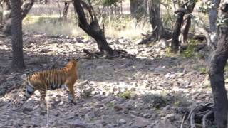 Download India - Ranthambore National Park - Tiger Cubs emerge Video