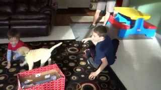 Download Puppy Surprise - Boys get a Yellow Labrador Puppy as an early Christmas present Video